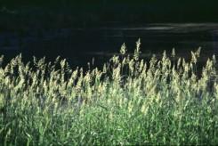 Phalaris arundinacea  (Reed Canary Grass), Carex xx  (xx Sedge)