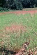 Agrostis scabra  (Ticklegrass)