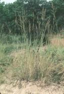 Calamovilfa longifolia (Sand Reed Grass)