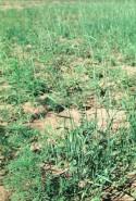 Agropyron repens  (Quackgrass)