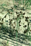 Juncus nodosus  (Knotted Rush)