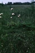 Eriophorum virginicum (Virginia Cottongrass)