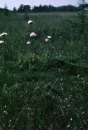 Eriophorum virginicum (Virginia Cottongrass)