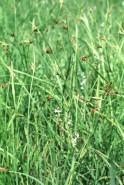 Scleria triglomerata (Tall Nut Rush)