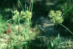 Cyperus engelmanii  (xx Cyperus)