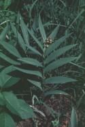Smilacina stellata (Starry False Solomon Seal)