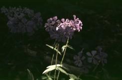 Phlox divaricata  (Woodland Phlox)