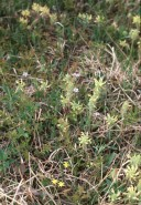 Pedicularis canadensis (Wood Betony)