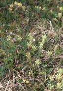 Pedicularis canadensis (Wood Betony)