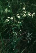 Euphorbia corollata (Flowering Spurge)