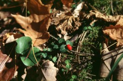 Mitchella repens  (Partridge Berry), Chimaphila umbellata  (xx)