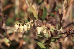 Chamaedaphne calyculata (Leatherleaf)