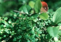 Gaultheria procumbens  (Wintergreen), Pyrola asarifolia  (xx)