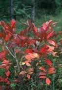 Rhus vernix (Poison Sumac)