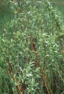 Salix gracilis (Slender Willow)