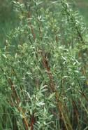 Salix gracilis (Slender Willow)