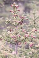 Picea mariana (Black Spruce)