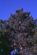 Pinus resinosa (Red Pine)