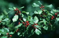 Rhamnus frangula (Glossy-leaved Buckthorn)