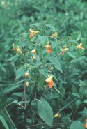 Impatiens capensis (Jewelweed)