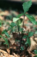 Arisaema triphyllum  (Jack-in-the-Pulpit)