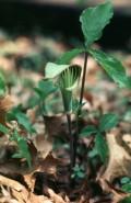 Arisaema triphyllum  (Jack-in-the-Pulpit)