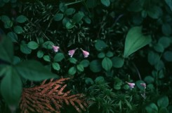 Linnaea borealis (Twin Flower)