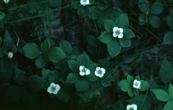 Cornus canadensis  (Bunchberry)
