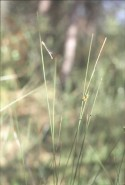 Carex oligosperma (Few-seeded Sedge)