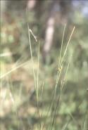 Carex oligosperma (Few-seeded Sedge)