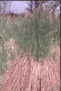 Carex stricta  (Tussock Sedge)