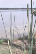 Typha latifolia  (Broad-leaved Cattail)