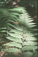 Athyrium angustum (Lady Fern)