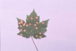 Acer rubrum (Red Maple) leaf