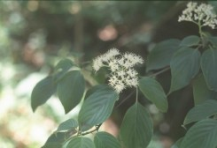 Cornus alternifolia (Pagoda Dogwood)