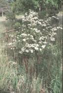 Spiraea van-houttei  (xx)