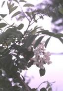Robinia pseudacacia  (Black Locust)