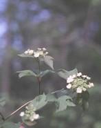 Viburnum trilobum (High Bush Cranberry)