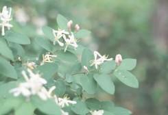 Lonicera tatarica (Tartarian Honeysuckle)