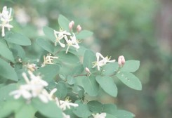 Lonicera tatarica  (Honeysuckle)