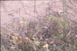 Hudsonia tomentosa (False Heather)