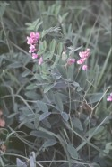 Lathyrus venosus (Veiny Pea)