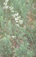 Galium boreale (Northern Bedstraw)