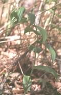 Polygonatum pubens  (Hairy Solomon Seal)
