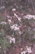 Ledum groenlandicum (Labrador Tea)