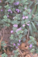 Glechoma hederacea  (Creeping Charlie)