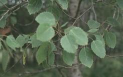 Populus grandidentata (Big-toothed Aspen)