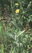 Sonchus arvensis  (Sow Thistle)