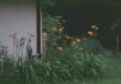 Hemerocallis fulva  (Day Lily)