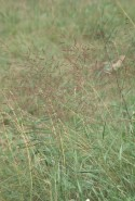 Agrostis stolonifera  (Redtop)